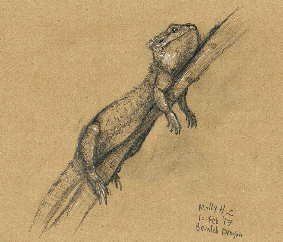 Pencil Bearded Dragon