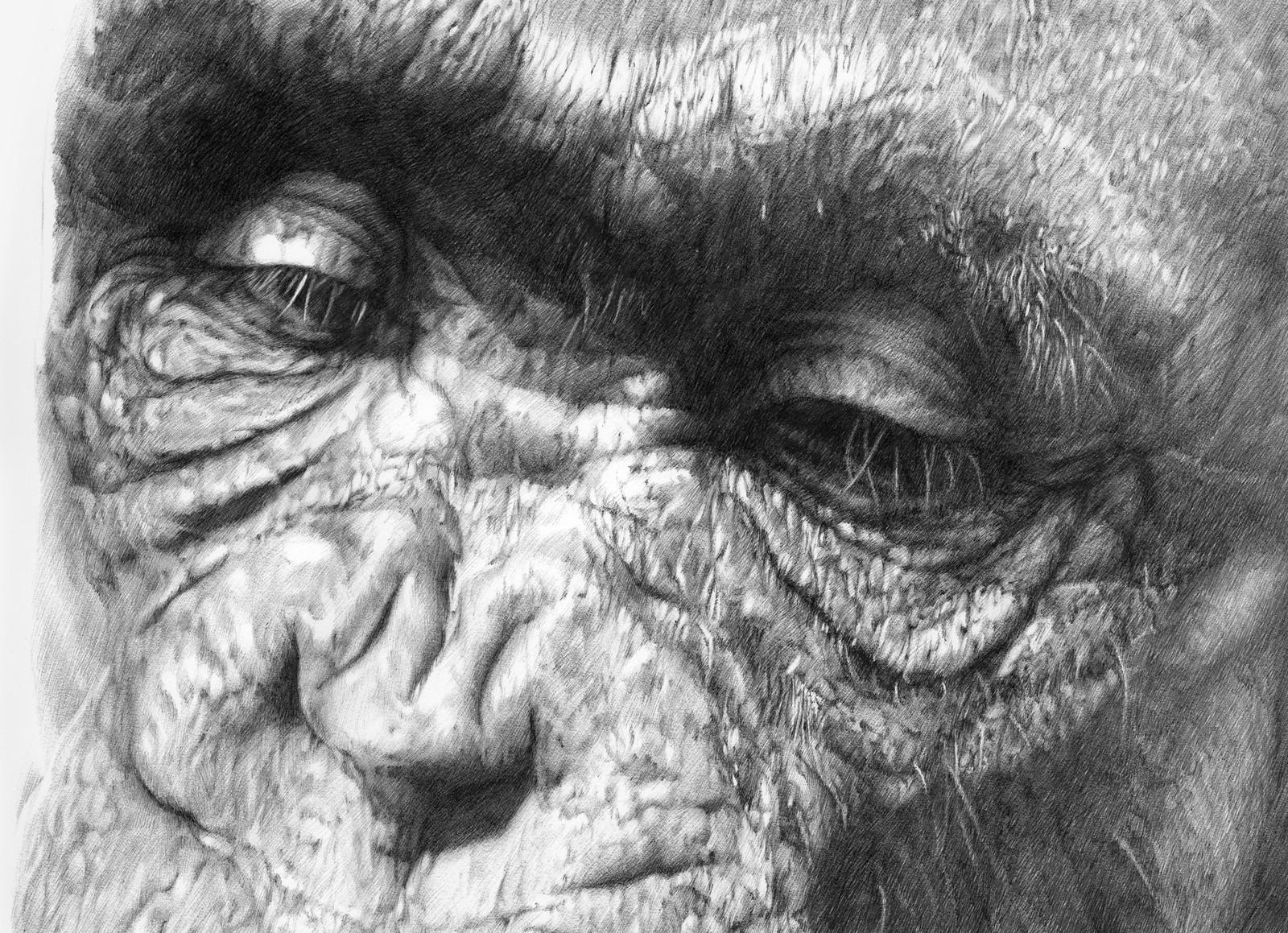 Chimpanzee - Amber
