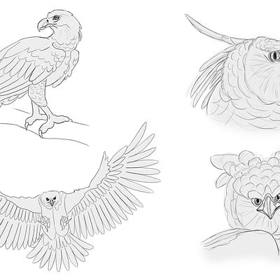 Zoelie roy lemieux harpy eagle
