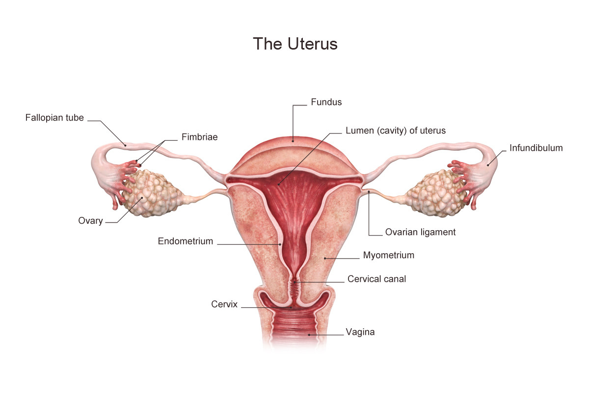 Everviz Studio - Medical illustrations of the Uterus.