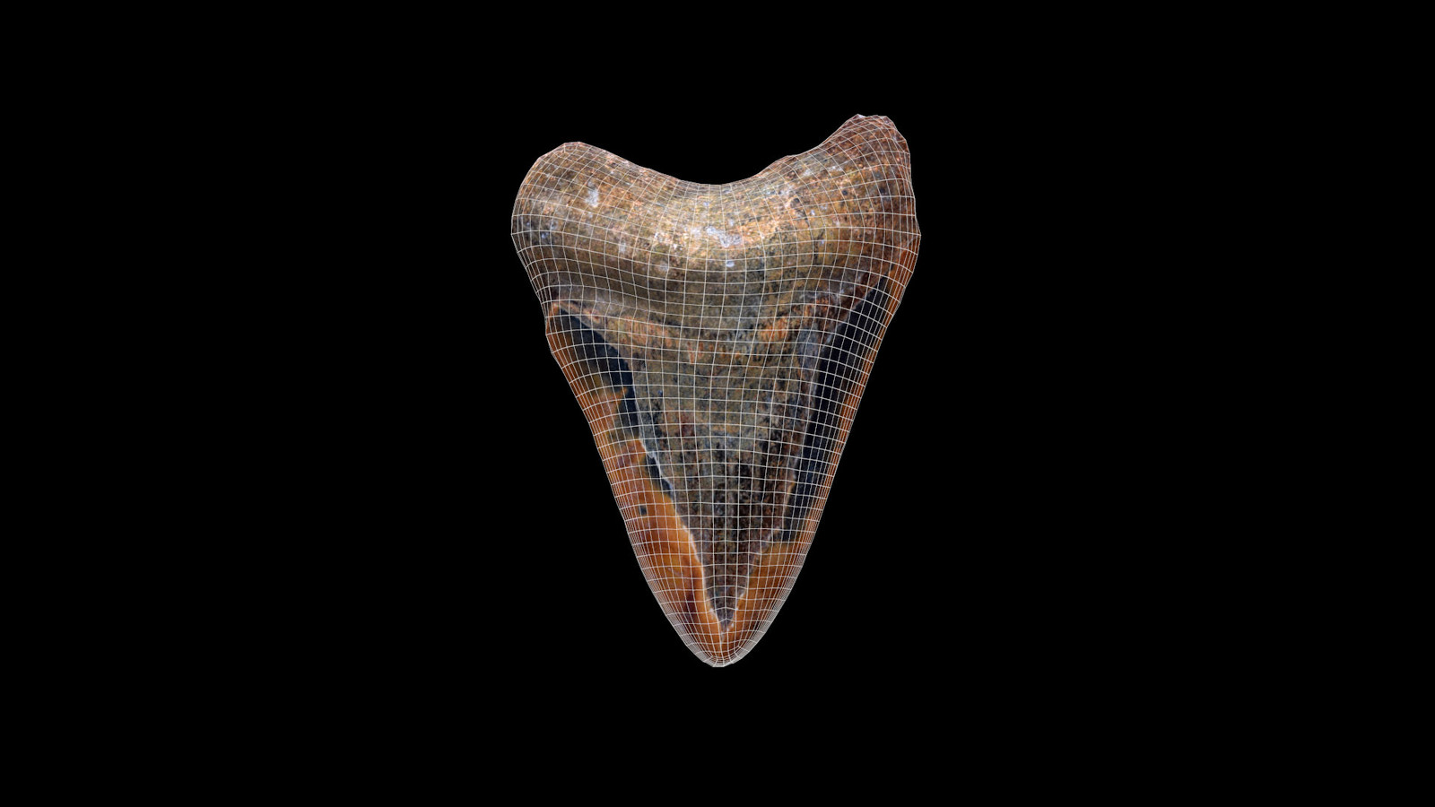 Fossilized Megalodon Tooth with wireframe
