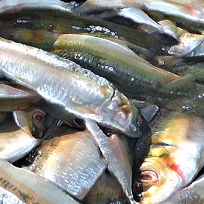Muhammx sohail anwar stack of fishes 007