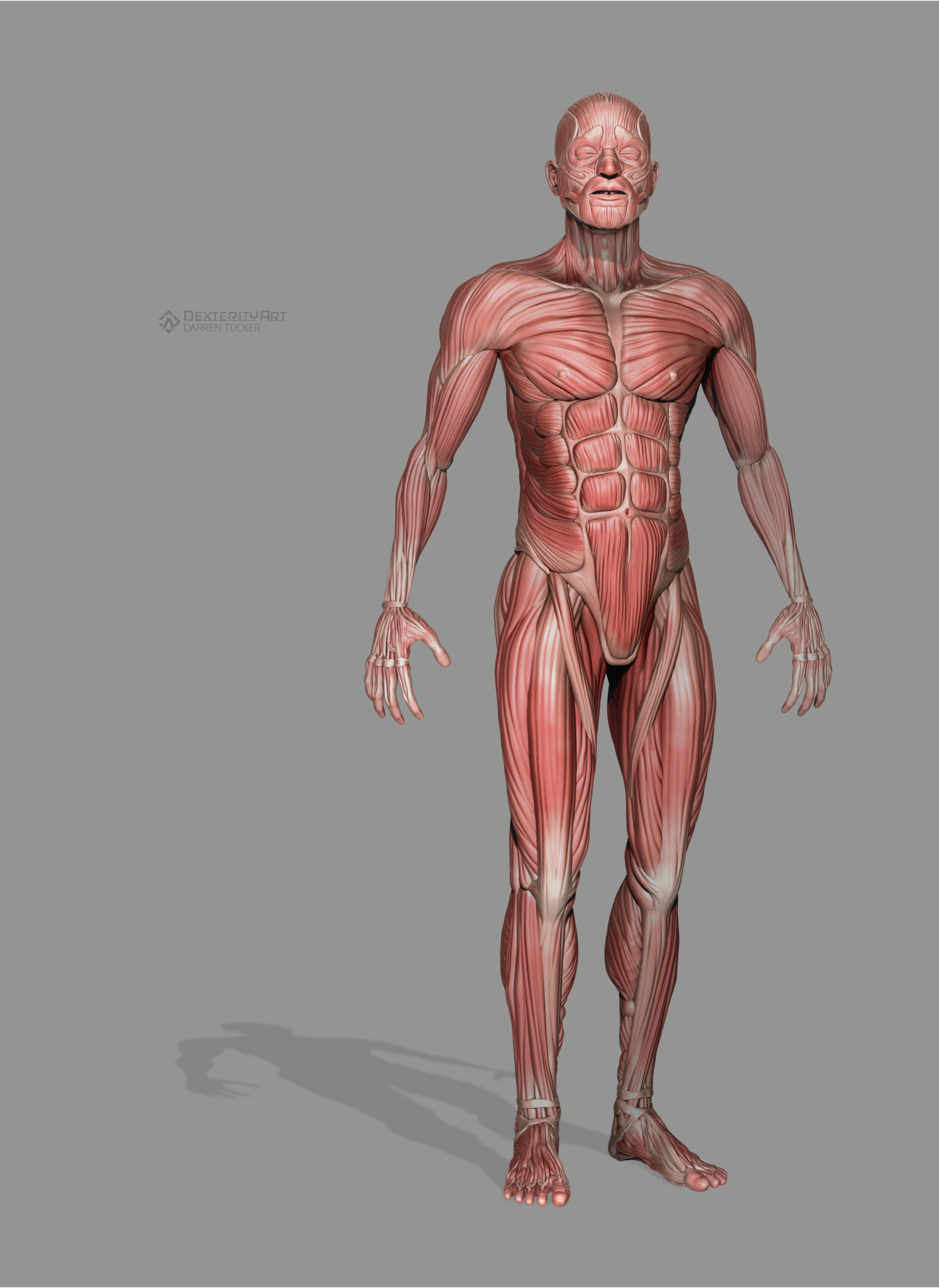 Artstation Anatomical Study Human Muscular Structure Darren Tucker