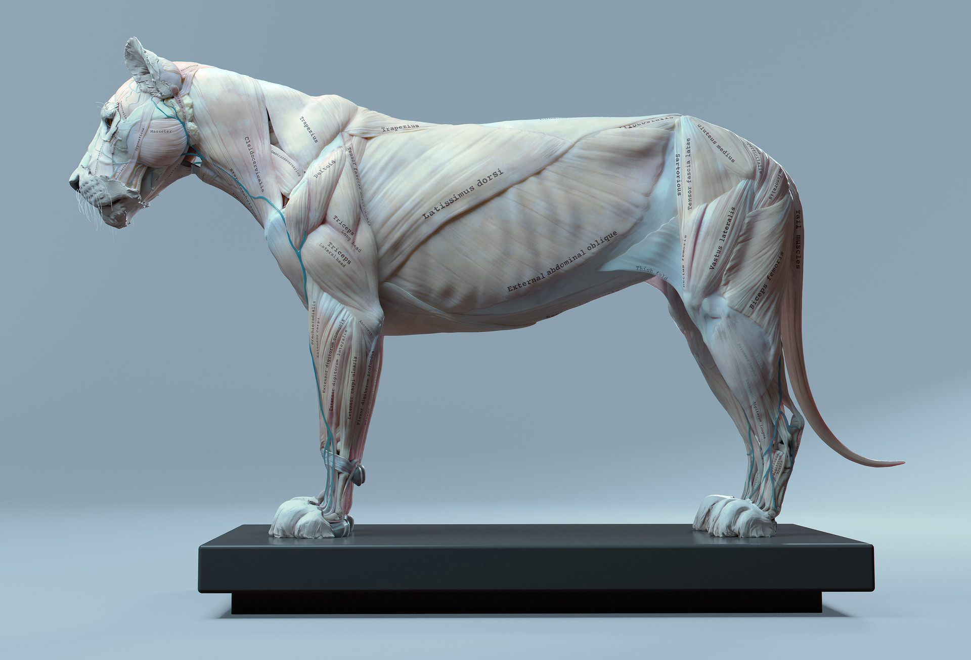 Artstation Lion Anatomy Maria Panfilova