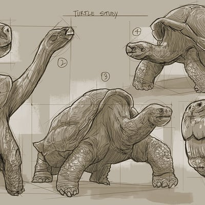 Marcos martins study turtle