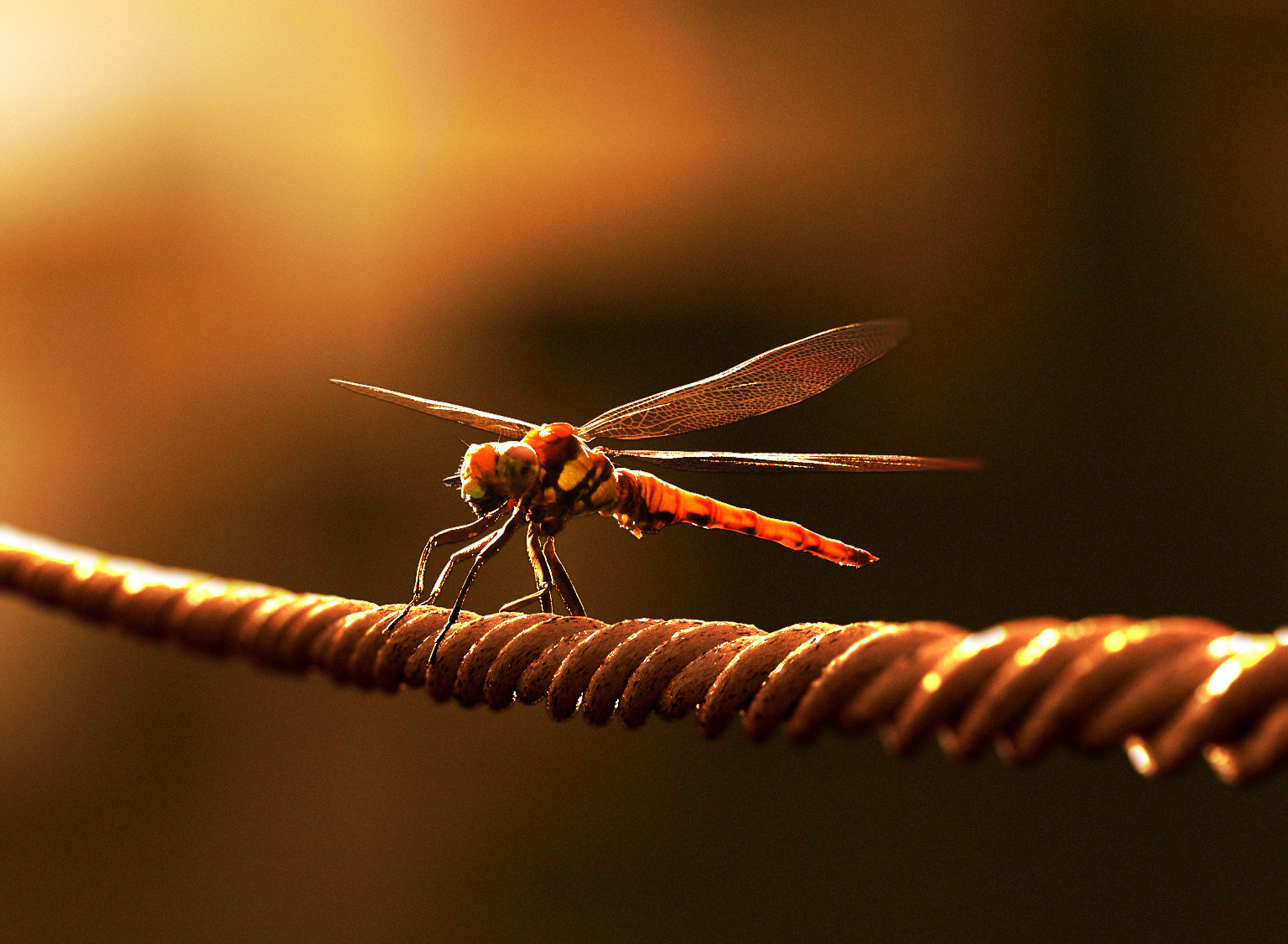 Dragonflies, as red as sunset.