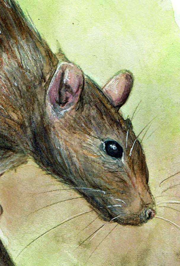 Diane georges rat1