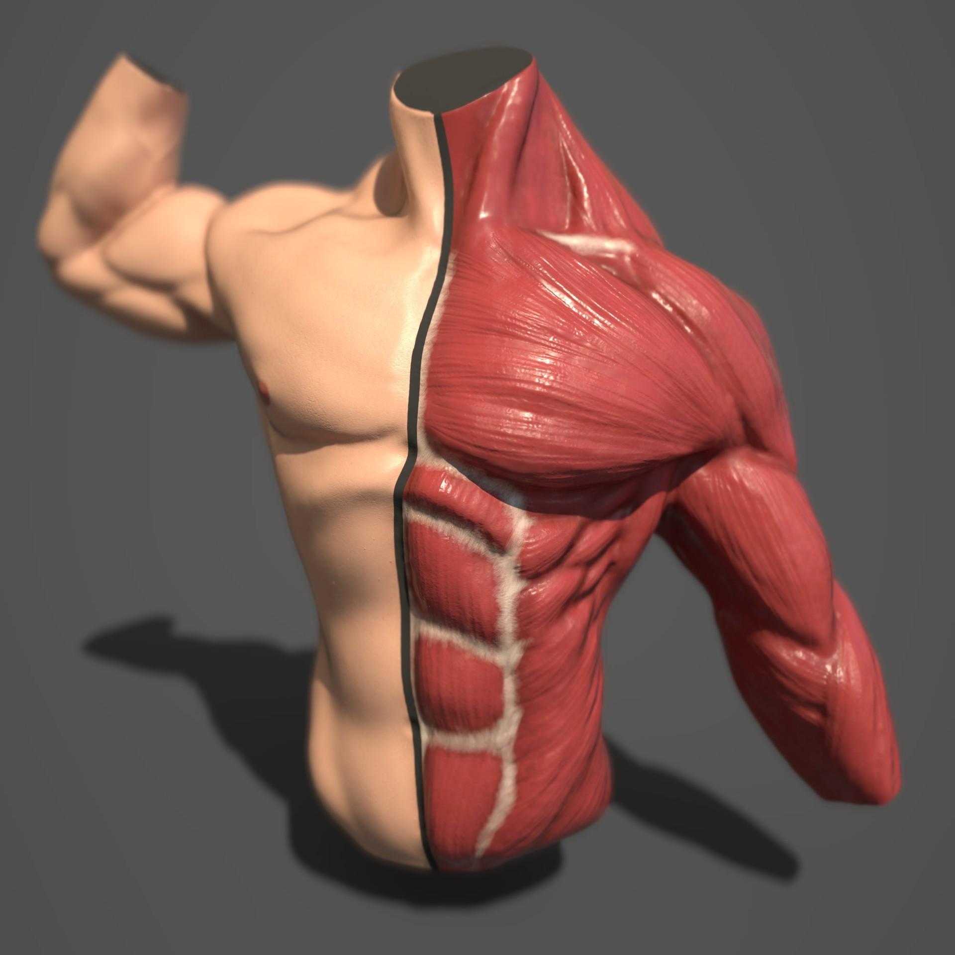 Michal Kapica Male Torso Anatomy