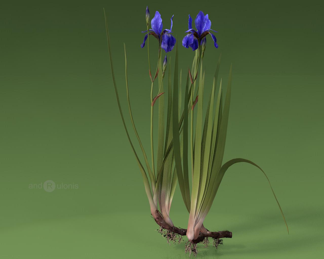 Dariusz andrulonis 2 iris