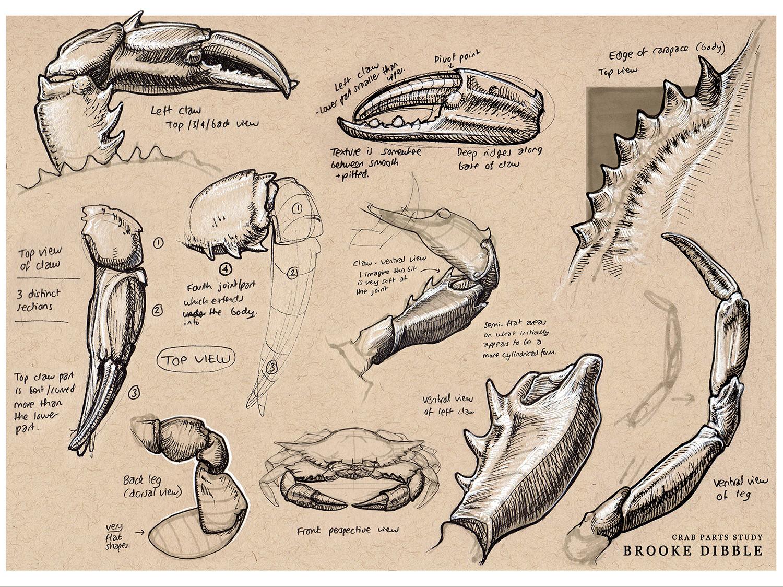 Crab claw studies