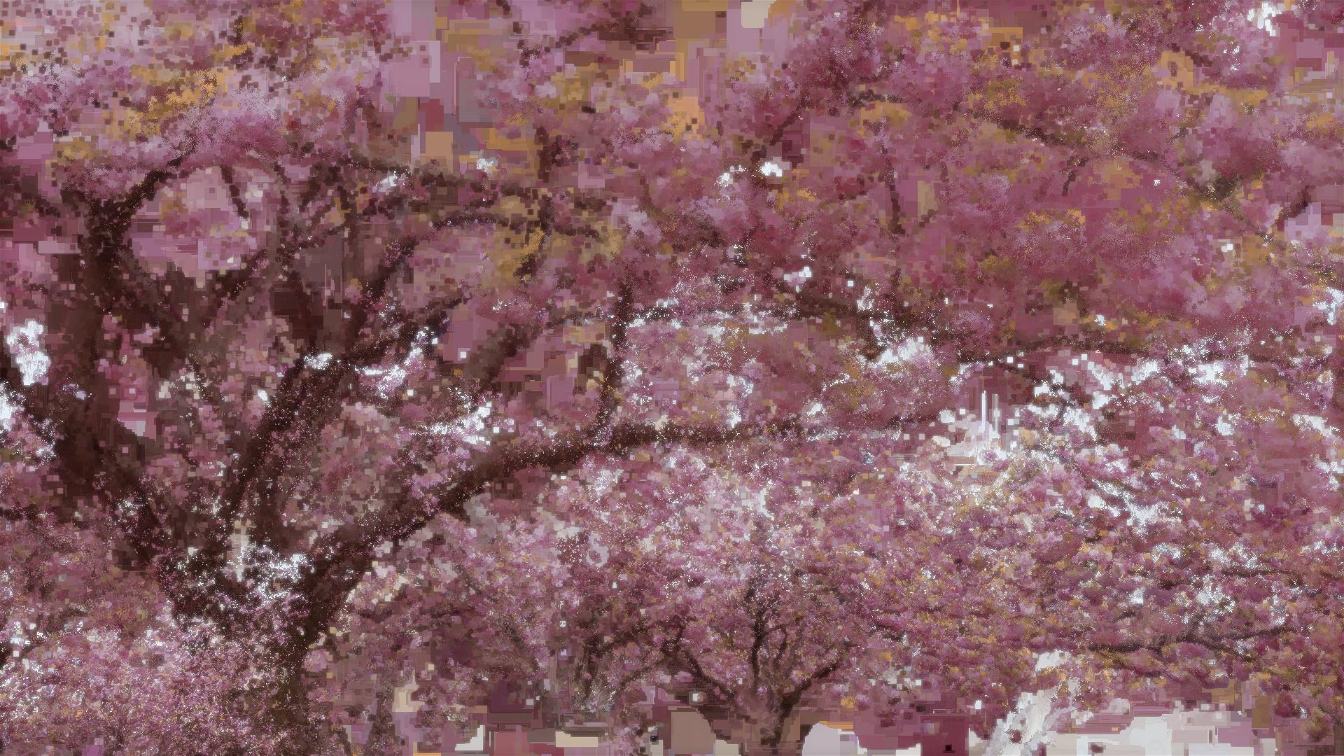 Benjamin bardou fleurs de cerisier i 00435