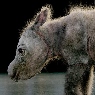 Sumatran Rhino Calf