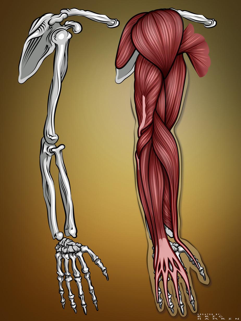 Artstation Arm Muscle Anatomy Eric Hamrin