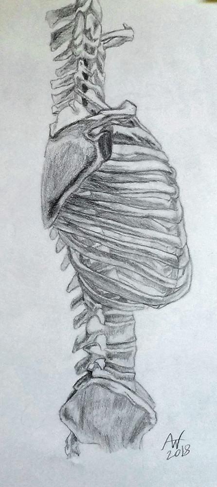 Torso Bone System Study