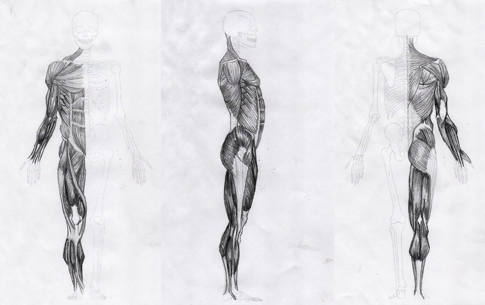 Ecorche Muscle Study