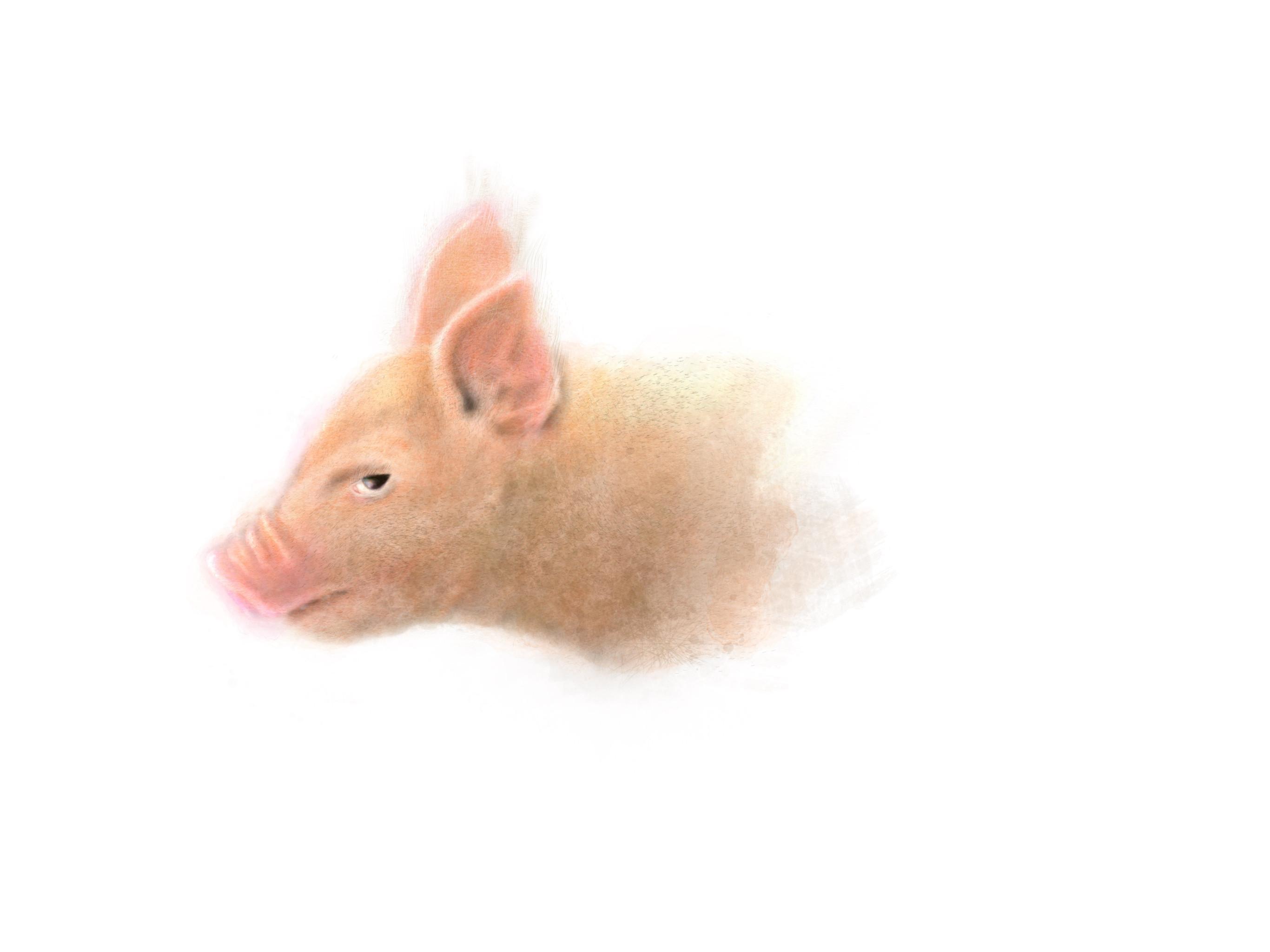 Piglet - Procreate