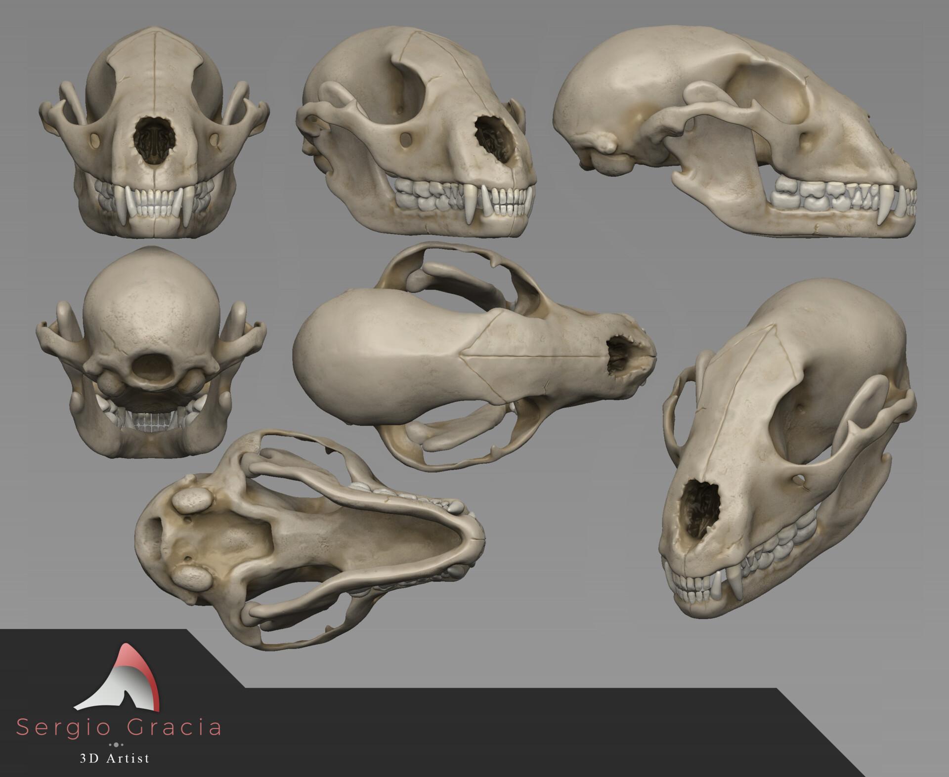 Sergio Gracia - Raccoon skull