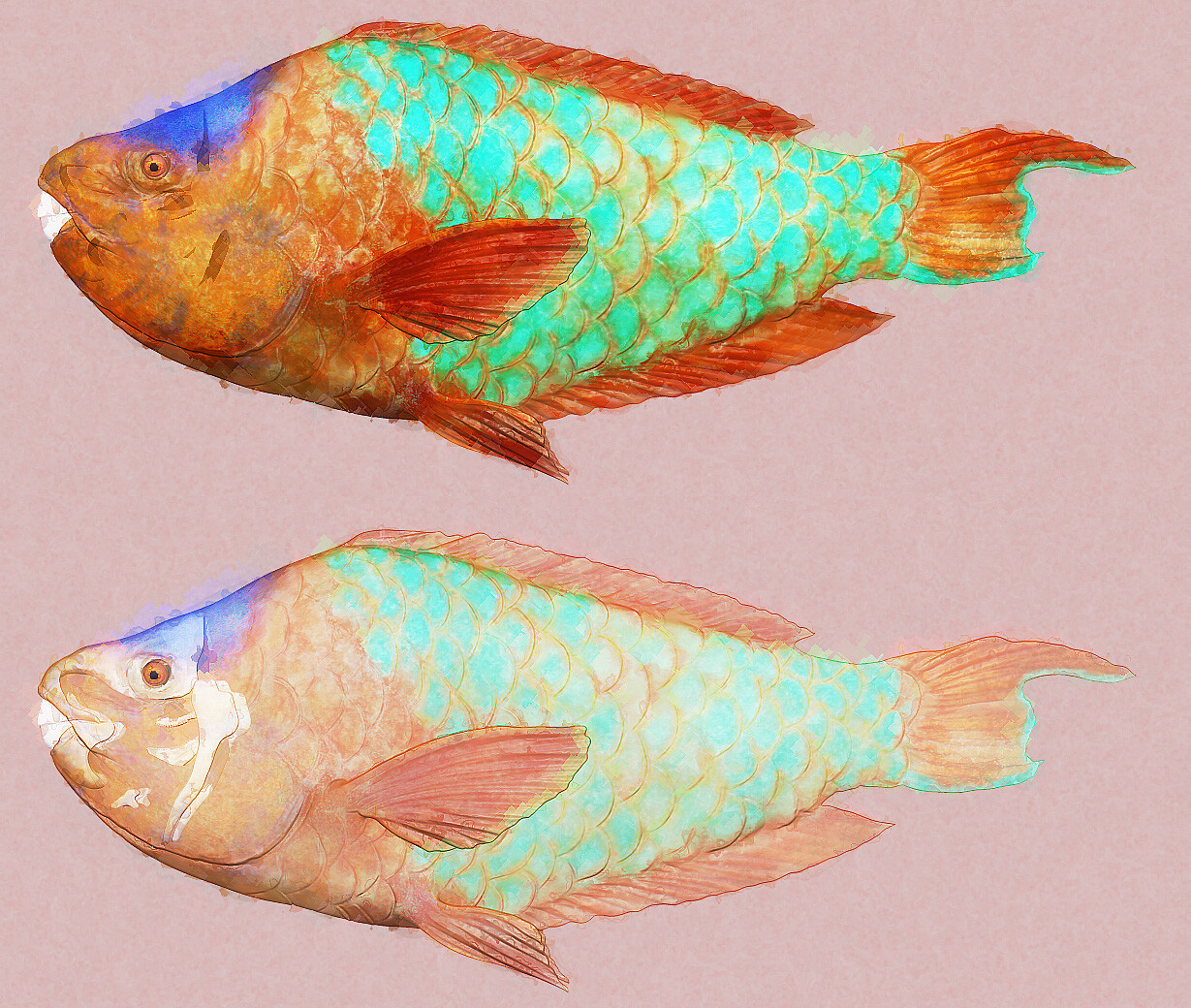 Rainbow Parrot fish. The skeletal structure is visible through the semi transparent body on the lower image.