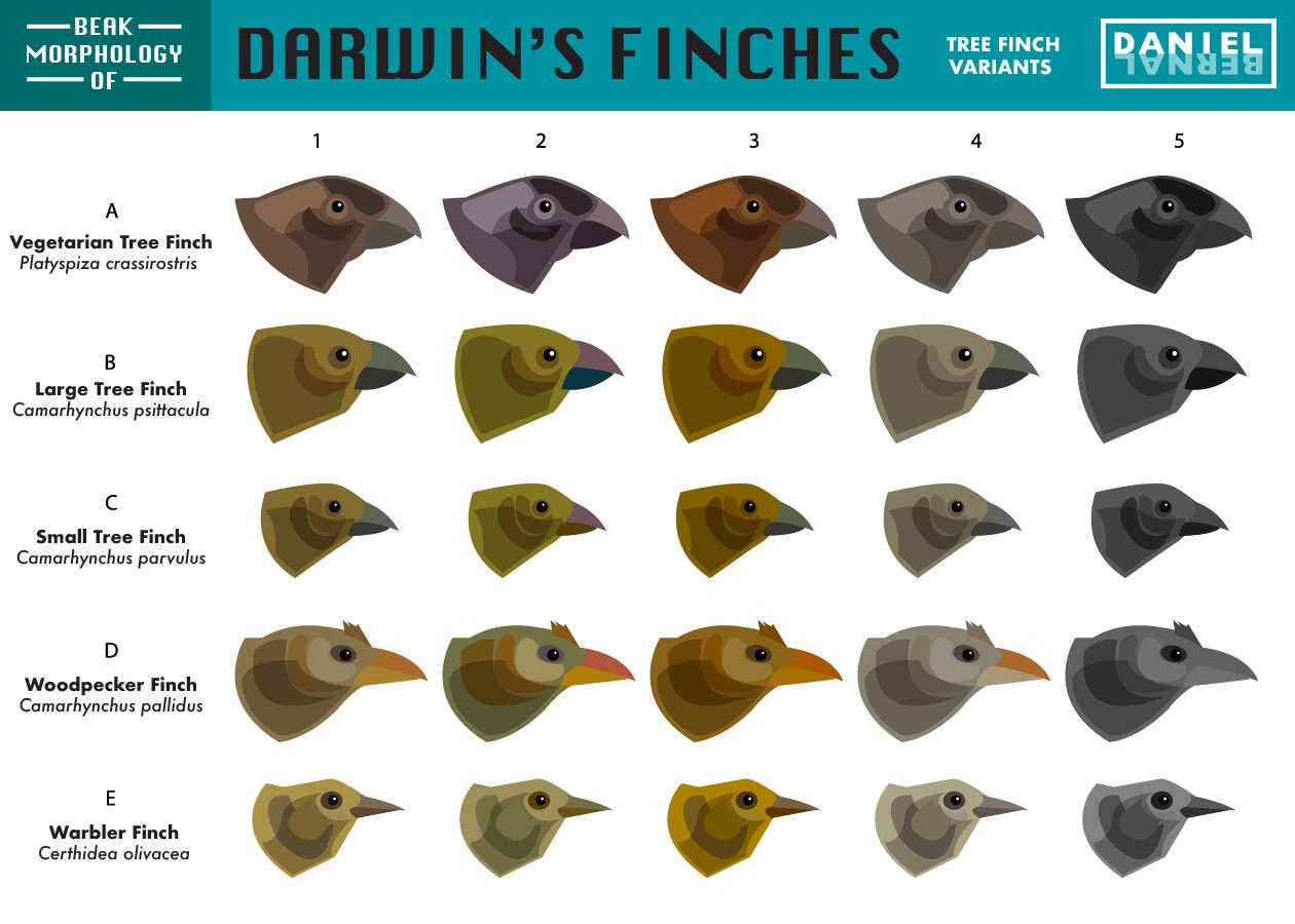 Daniel bernal 07b bird morph darwin finch variants bernalstudio 01