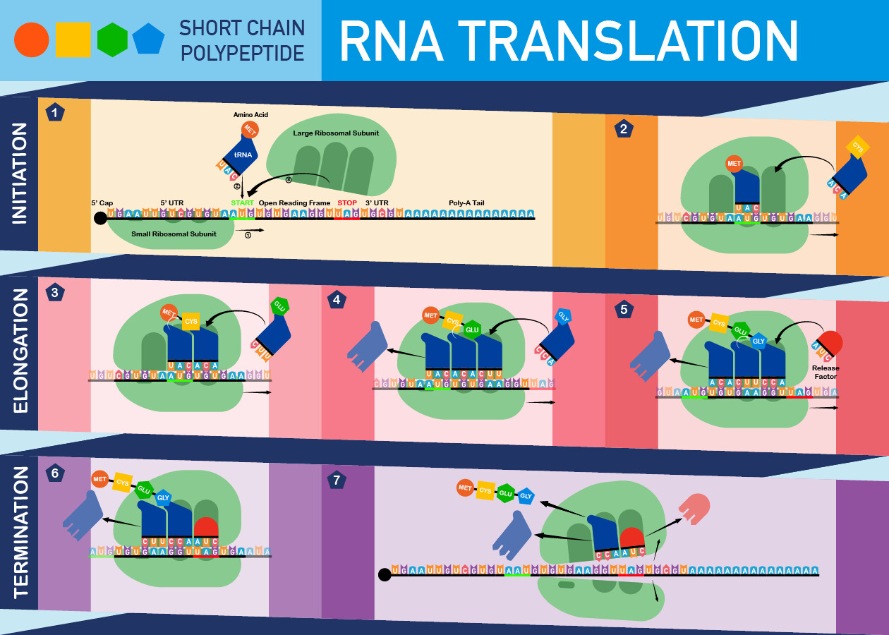 Polypeptide RNA Translation