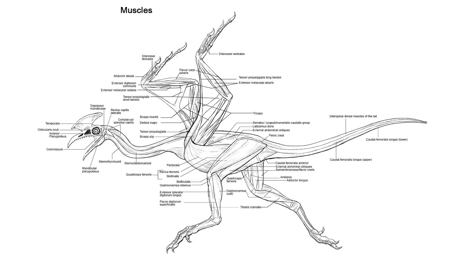 Musles