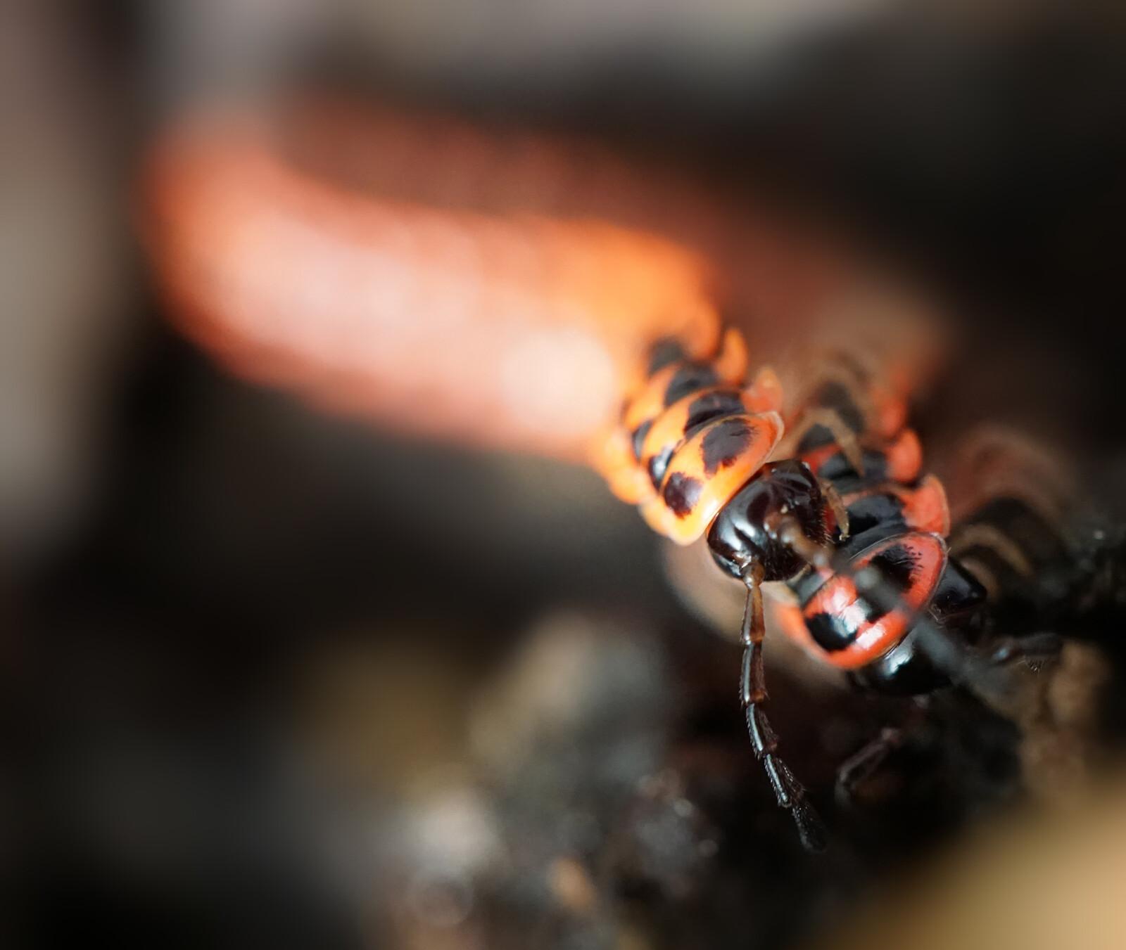 Antheromorpha uncinata