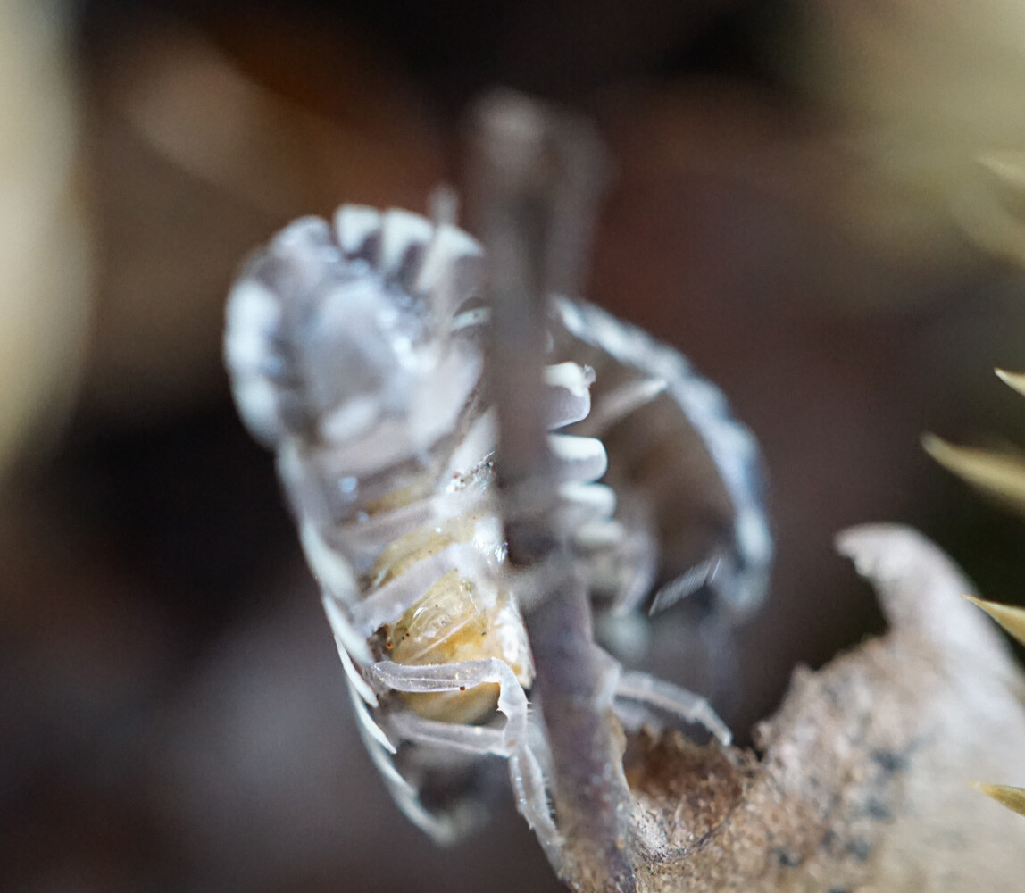 Woodlice carry their eggs in a brood pouch (marsupium), as visible here