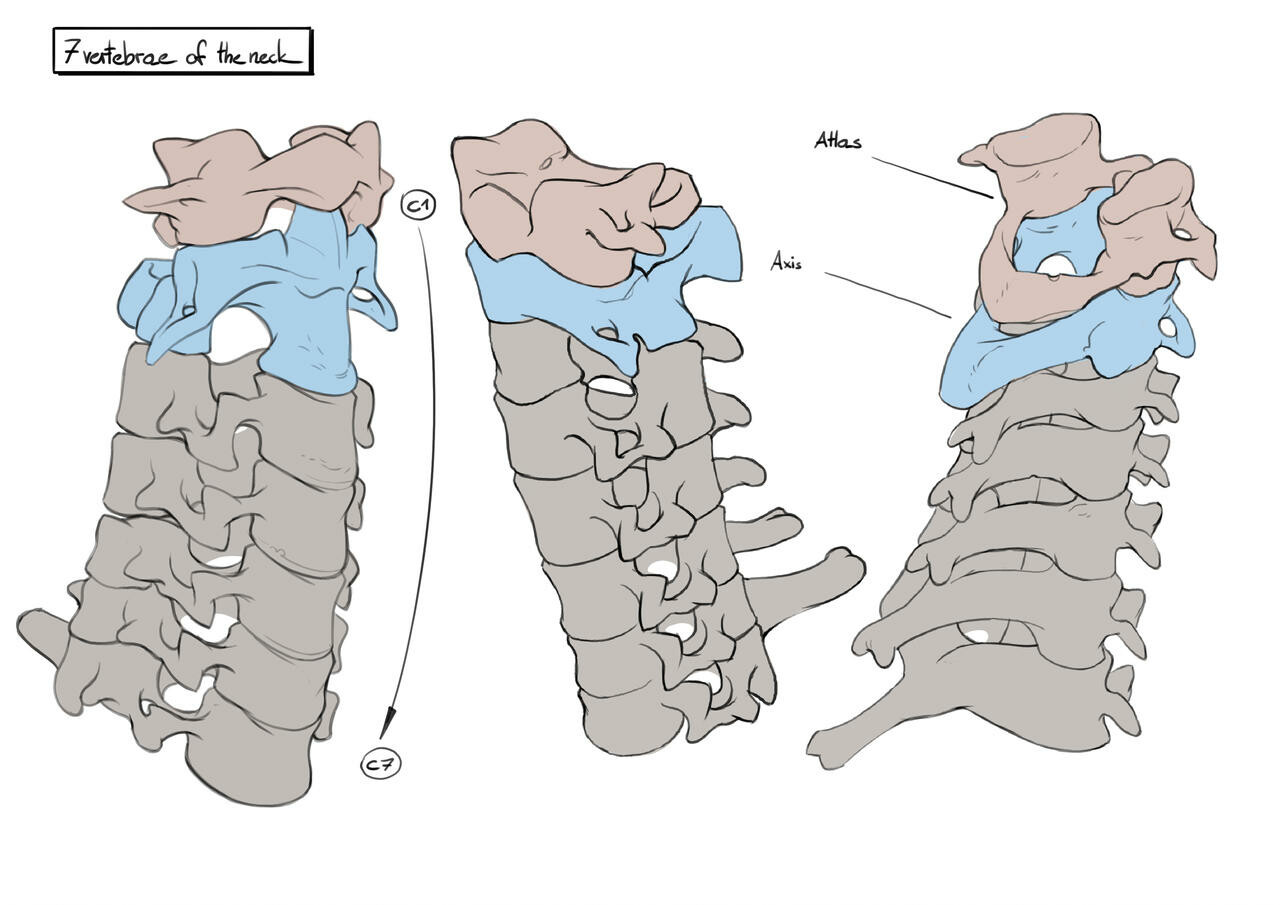 7 neck vertebrae - perspective