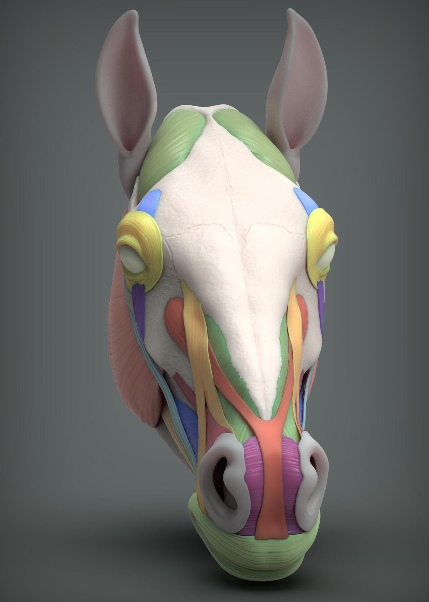 John deriggi face horse anatomy 01