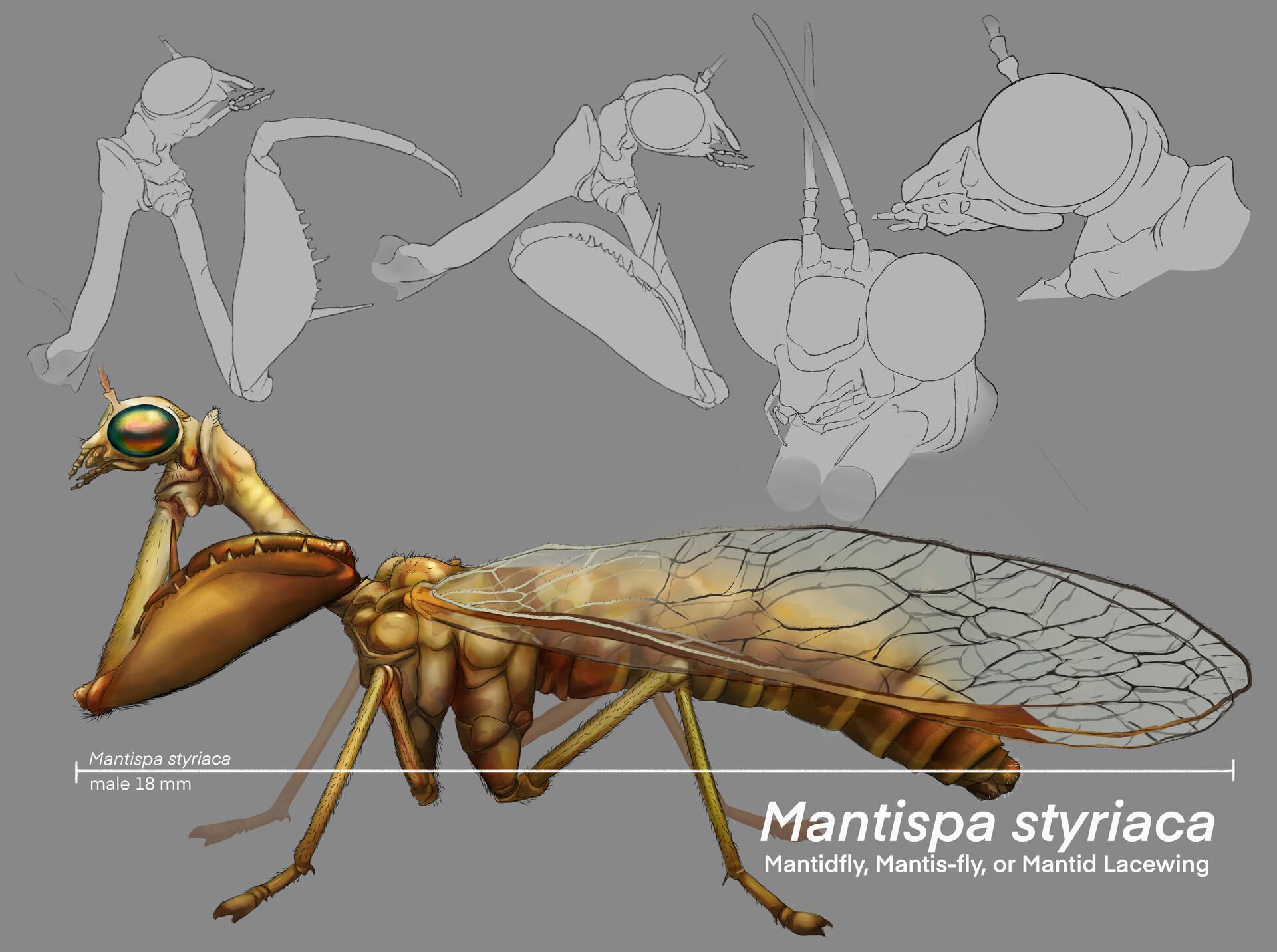 Jacie dannhardt mantidfly color2