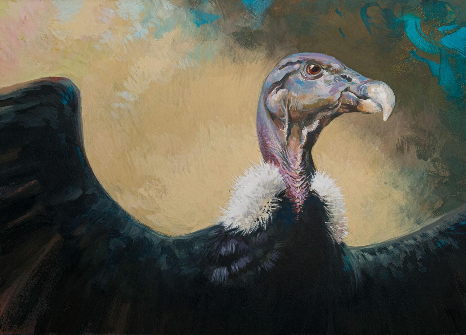 Andean condor - female (Vultur gryphus)