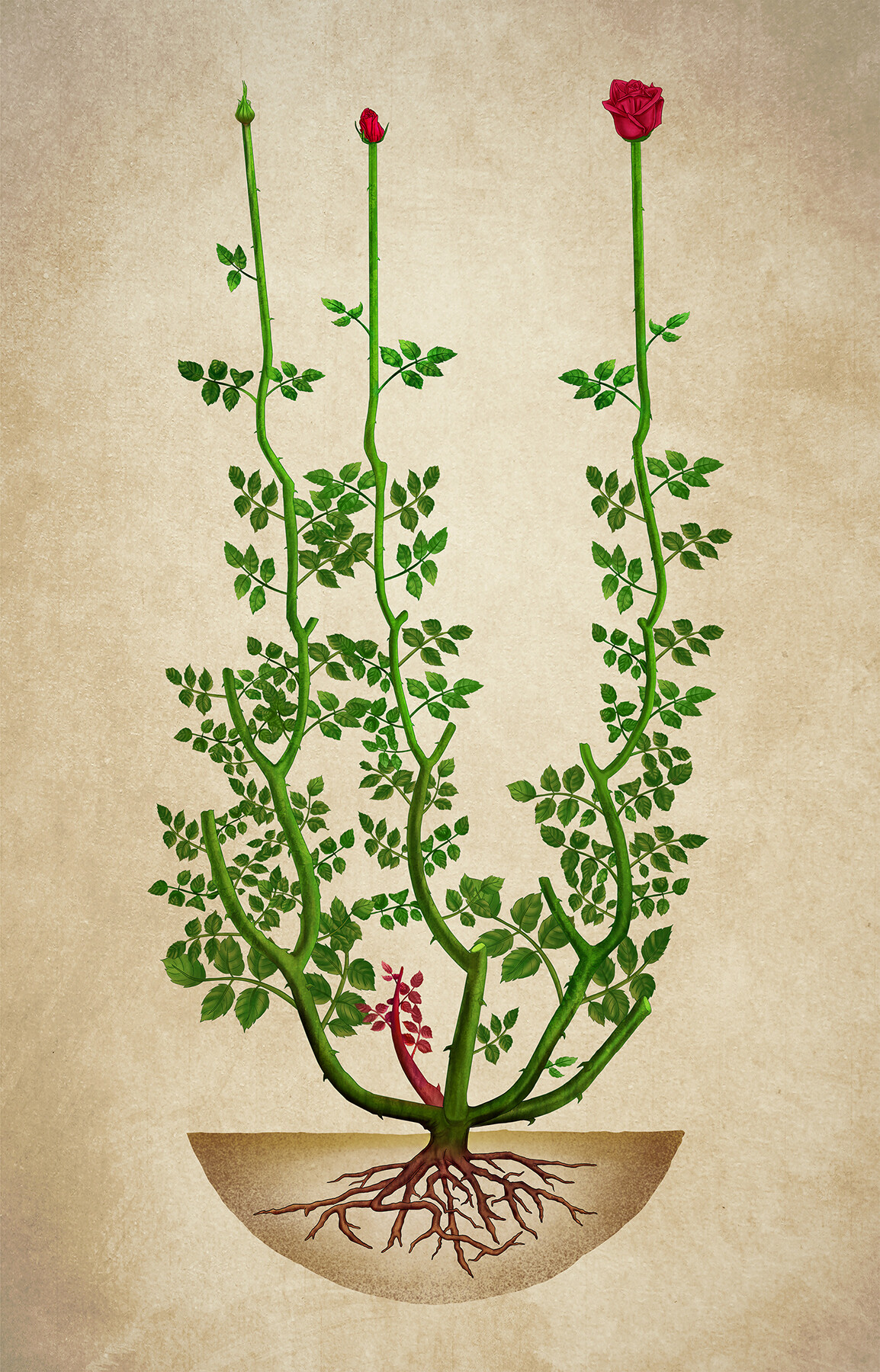 Roses - Science Illustration for infographic video.  Client: Aleta Audiovisual