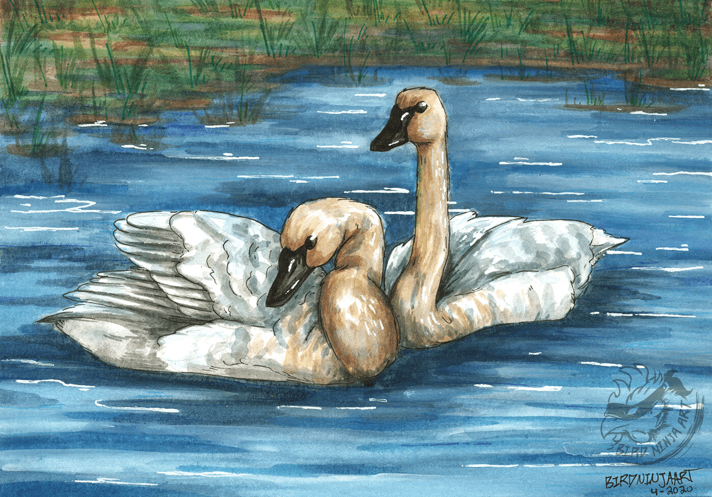 Trumpeter Swans Final Illustration Ink and Watercolor