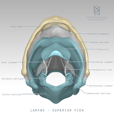 Larynx - superior view