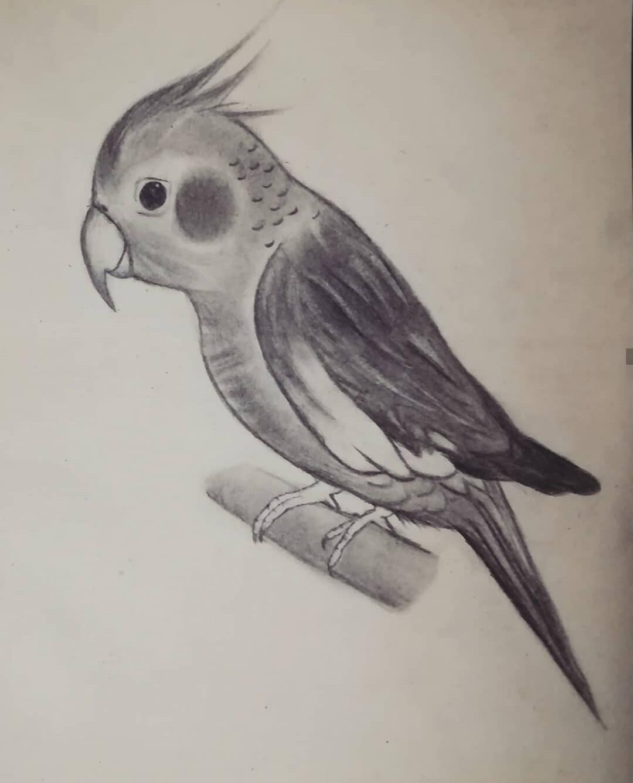 Ahnaf Reza Parrot Sketch