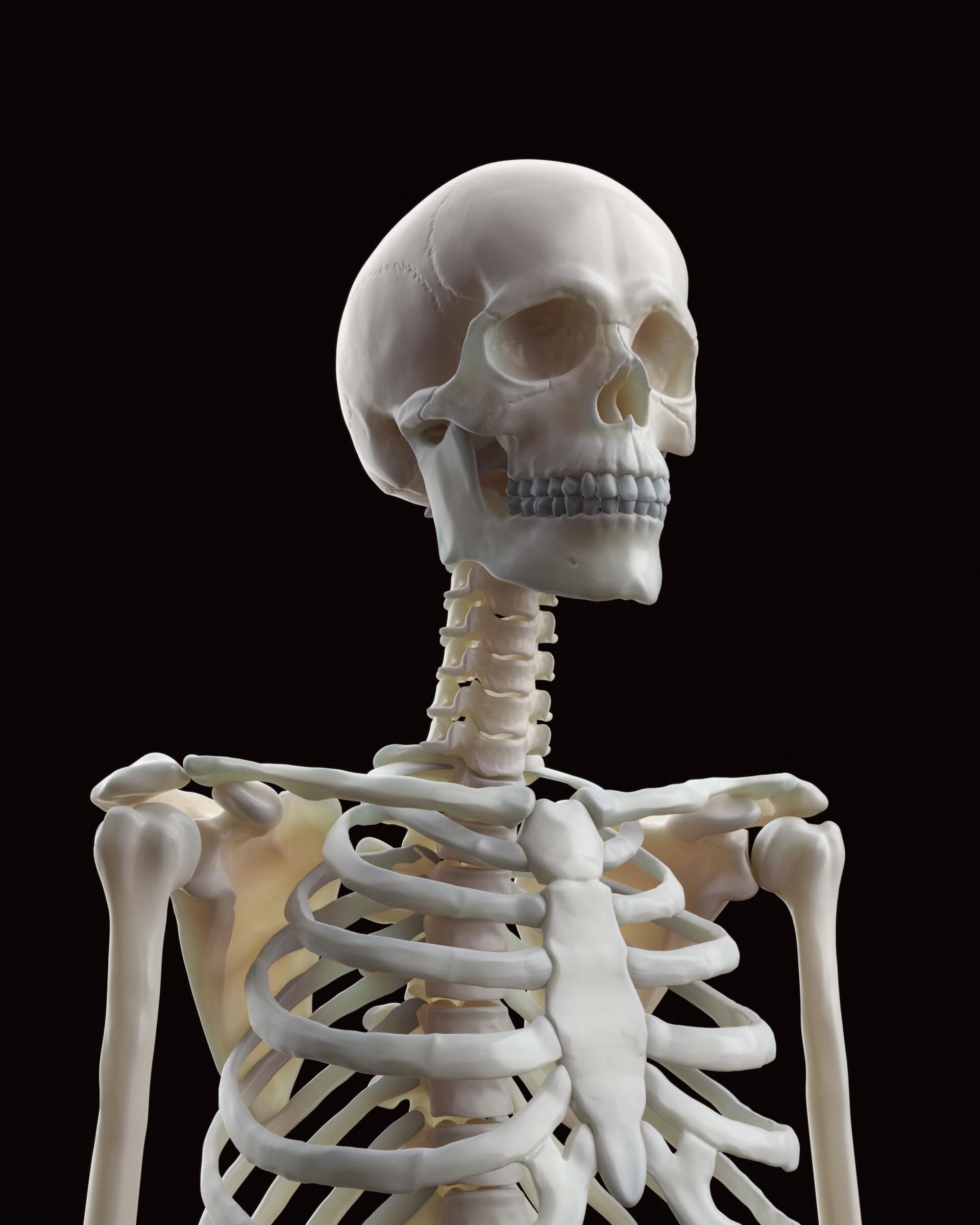 Three quarter view on skeleton