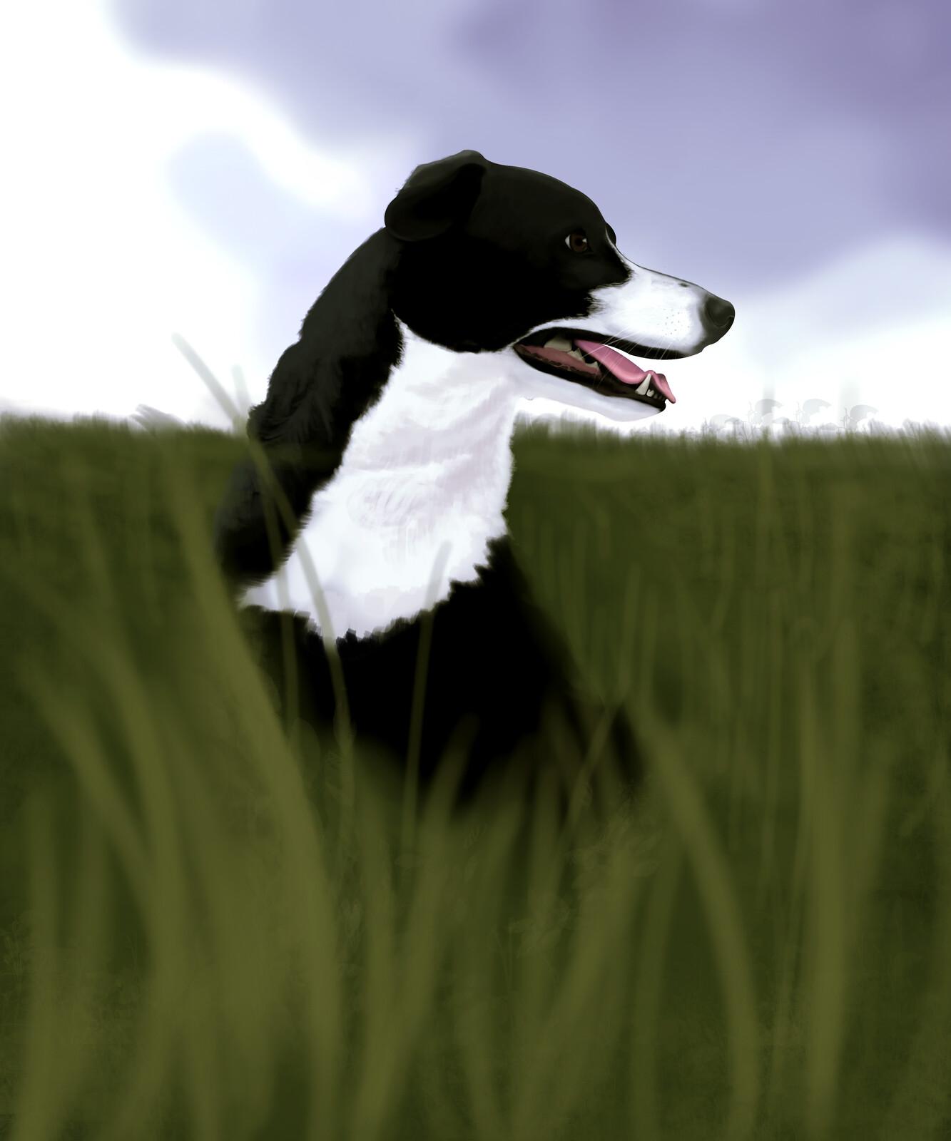Dog portrait - Border collie