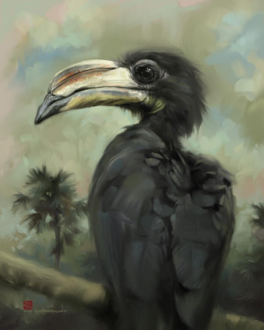 African pied hornbill (Lophoceros fasciatus)