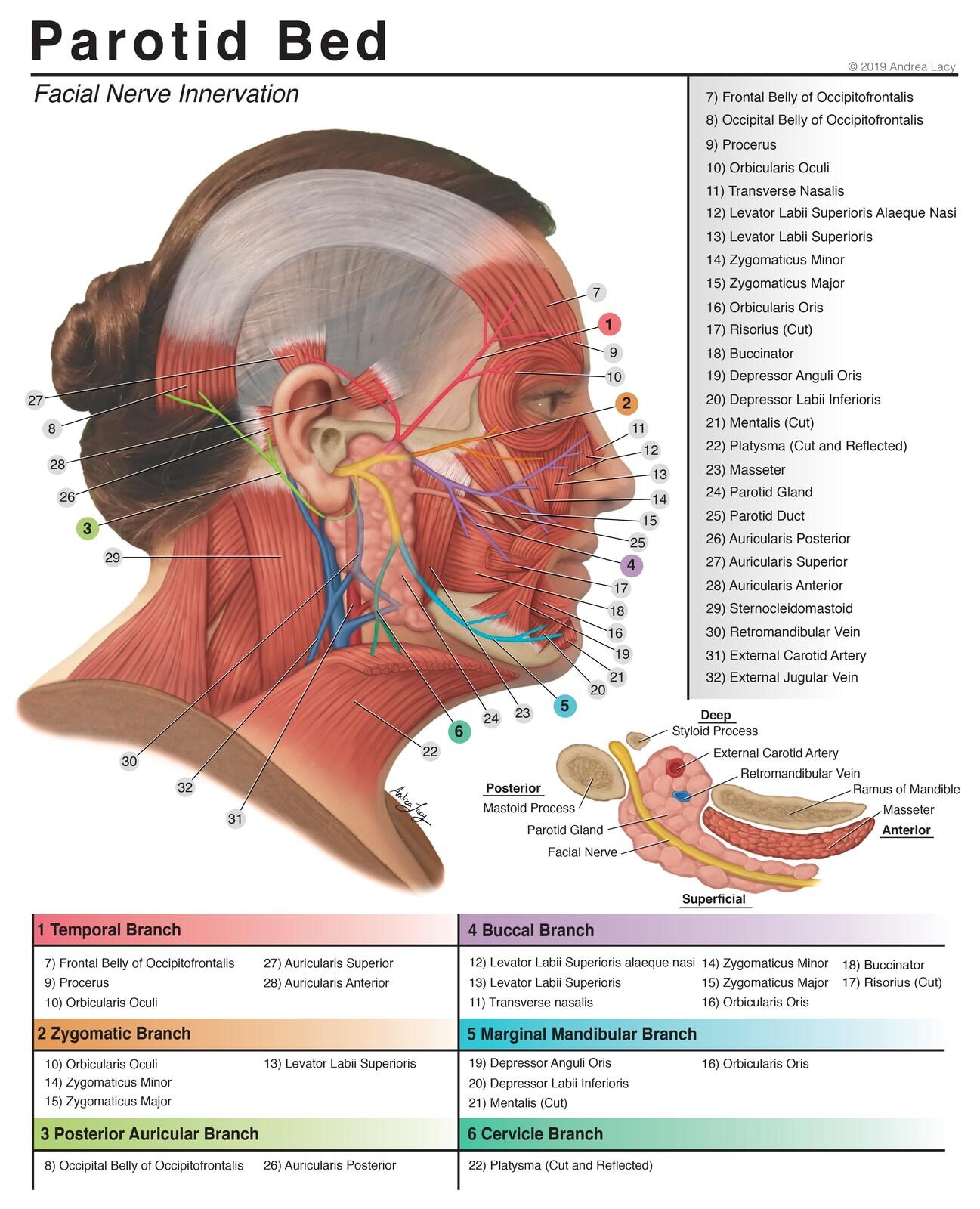 Parotid Bed Anatomy- Facial Nerve Innervation