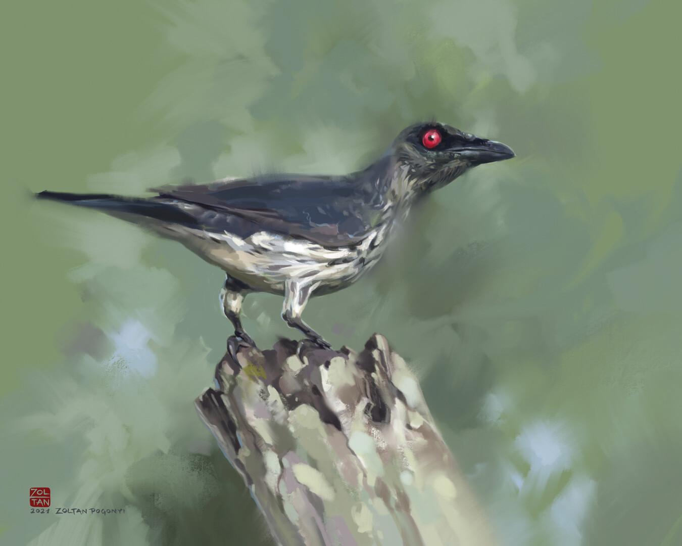 Philippine glossy starling (Aplonis panayensis)