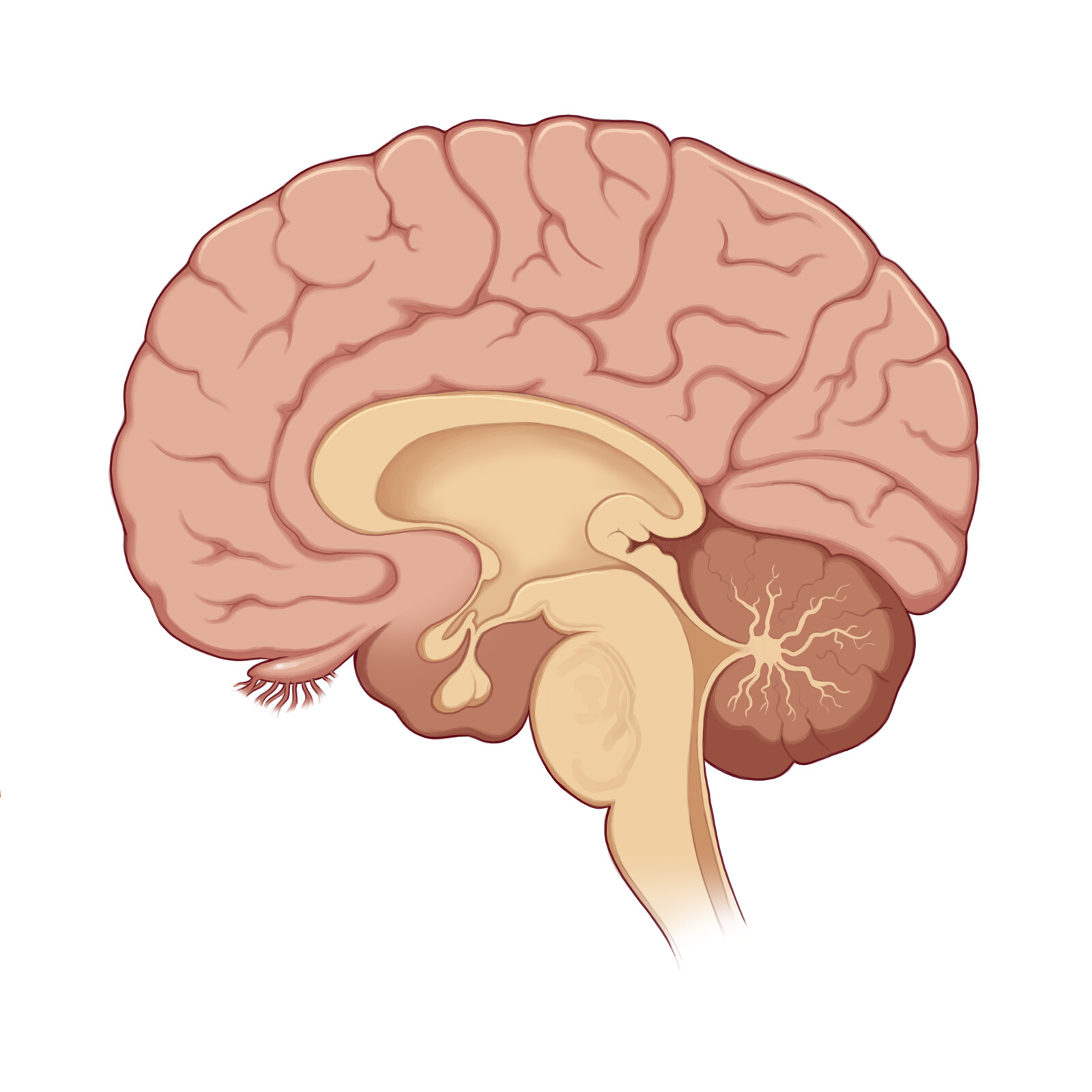 The human brain without color-coding and the Hippocampus.