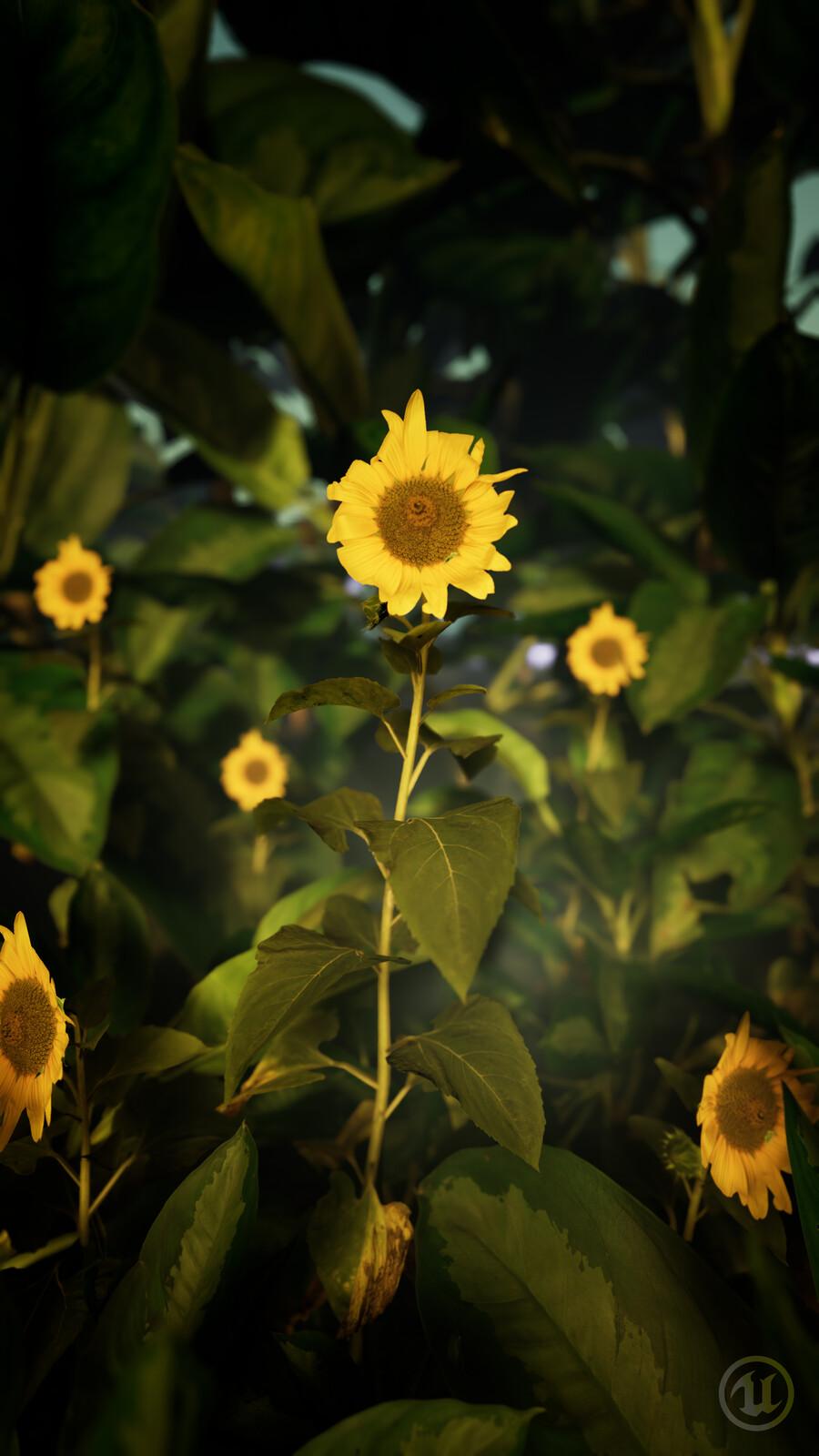 The Sunflowers in Garden