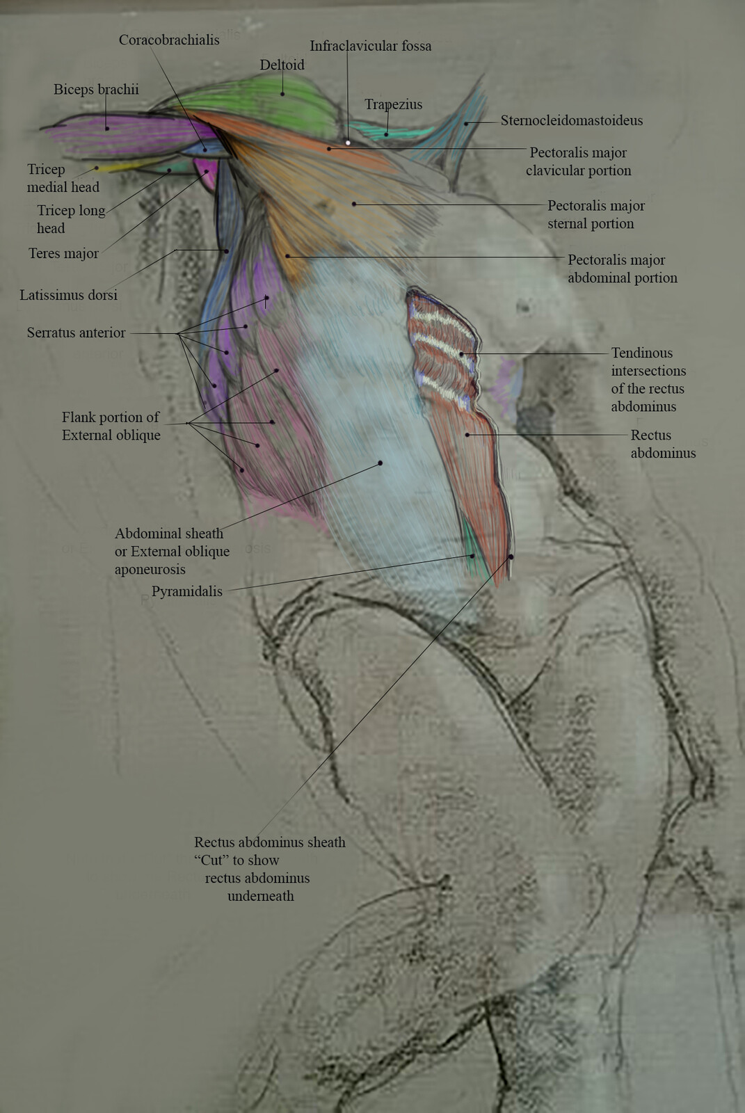 Anatomy Drawings/Ballpoint Pen and or Digital