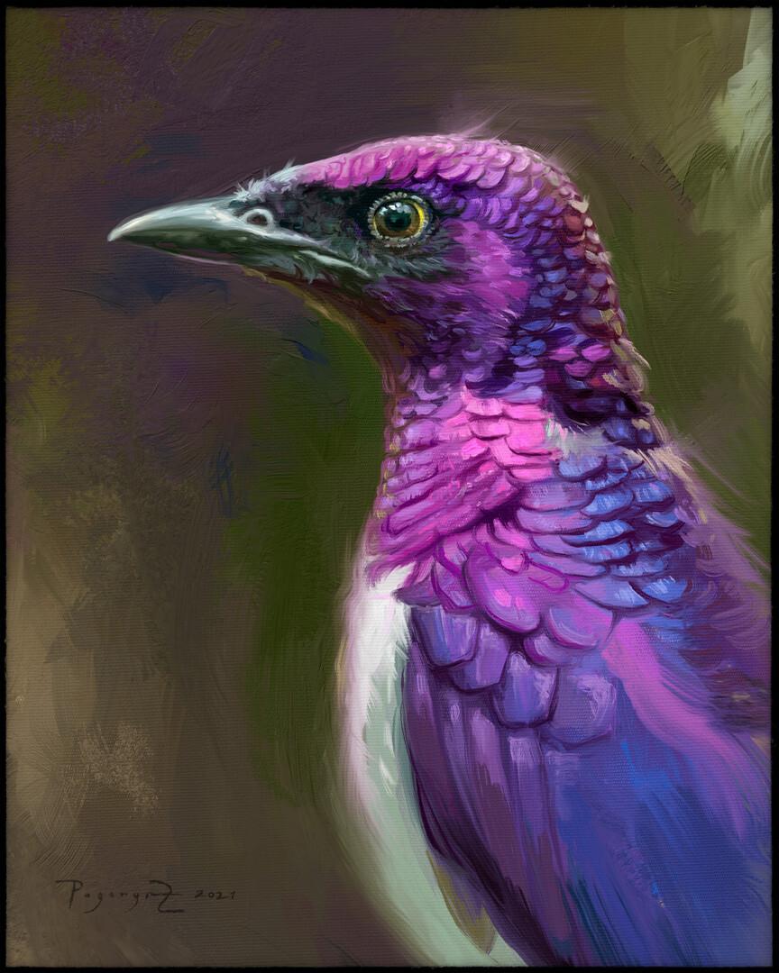 Violet-backed starling (Cynniricinclus leucogaster)