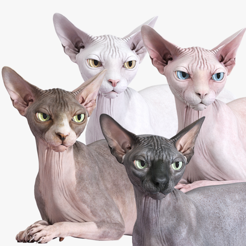 Sphynx Cat Rigged Collection