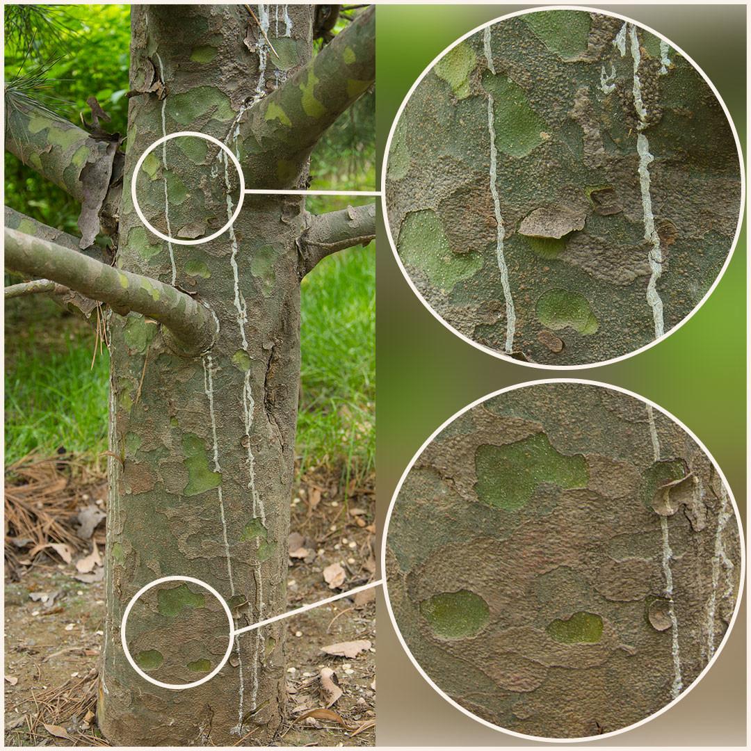Promo tree barks vol2 3