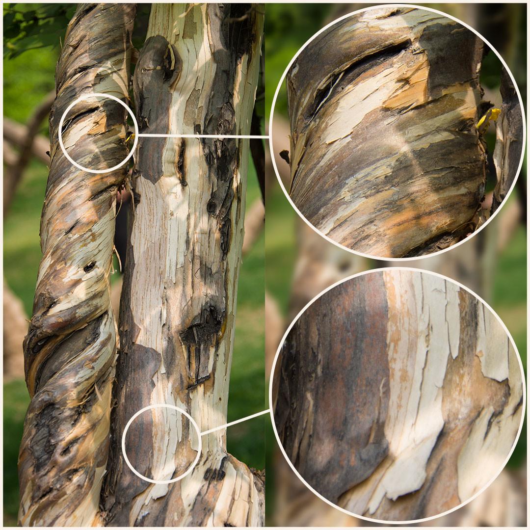 Promo tree barks vol2 5