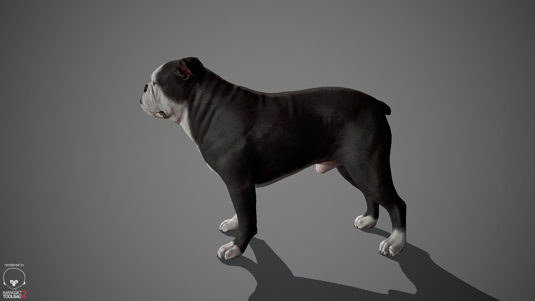 Englishbulldog by alexlashko marmoset 08