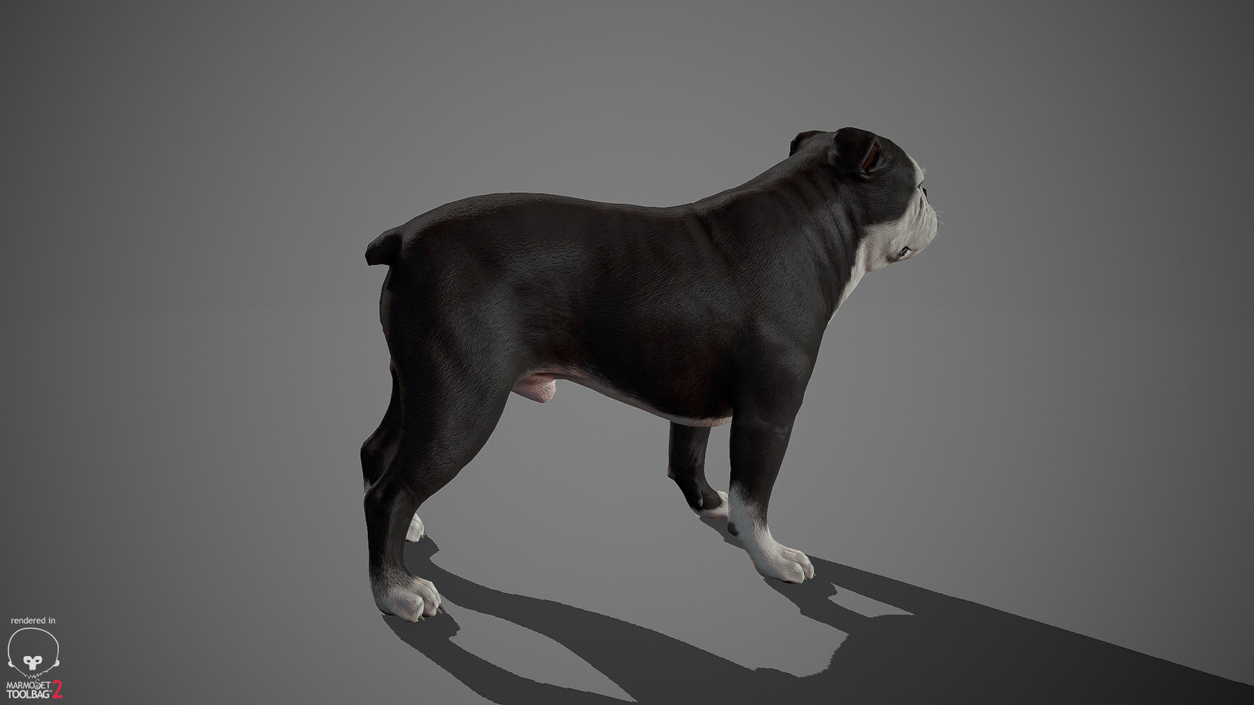 Englishbulldog by alexlashko marmoset 14