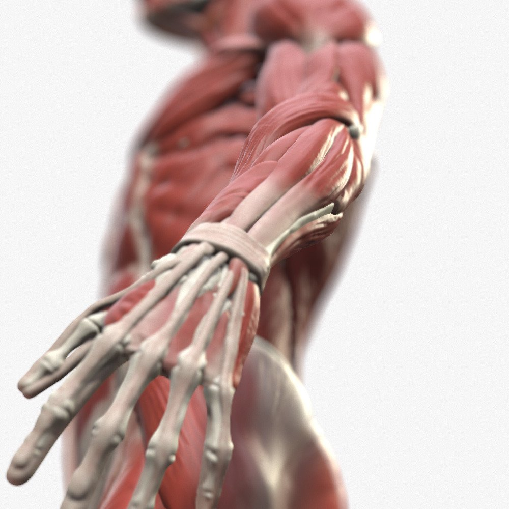 Male anatomy polycount1
